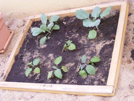 cabbage aubergine