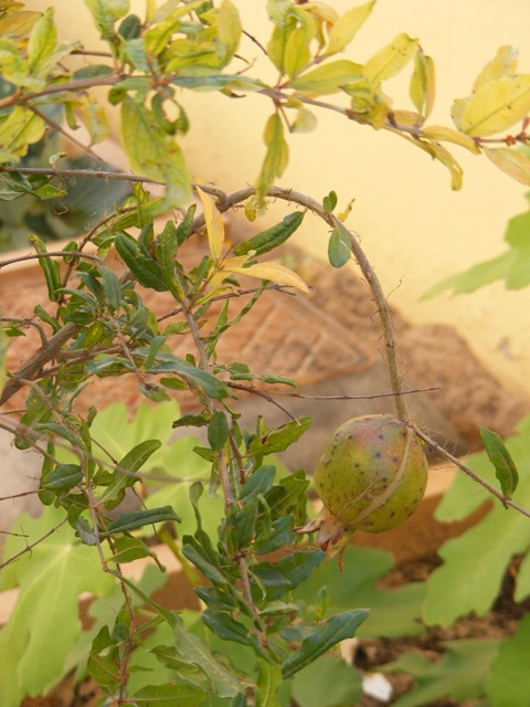 pomergranate fruit